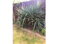 Outdoor large yucca