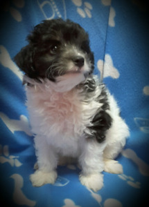 Shihpoo Puppies (small)