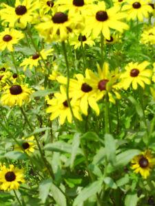 plants fleur marquerite jaune Rudbeckia
