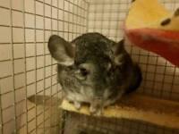 Baby female chinchilla