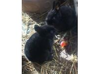 Baby 🐰 Rabbits for sale Black and Grey