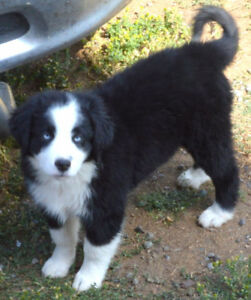 PUREBRED REGISTERED full size Australian Shepherd pup and one