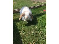 Young male rabbit for sale pets at home