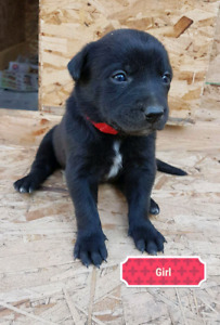 Australian kelpie cross puppies