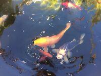koi pond goldfish tench pond closure