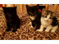 Half siamese half tabby kittens