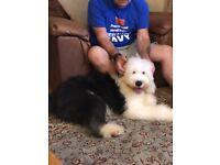 Dog Walker/home boarding