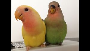 Hand tamed baby lovebirds and cage.