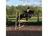 Beautiful Irish Sport Horse x Mare with potential