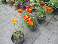 Plants for sale-French Marigold plants in 14 cm pot-60p per pot