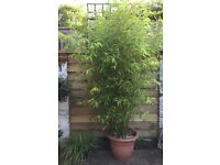 Bamboo plants 2 metres + tall in pots, hardy outdoor, 5 available