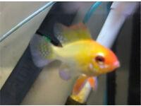 Gold rams peaceful community tropical fish