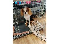 Male king charles cavalier 6 months