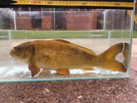 8 Large Pond Fish - Open To Offers