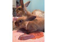 Lionhead X mini lop rabbits