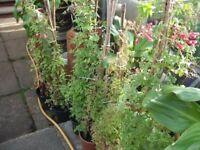 Hardy Climbing Garden Plant, Chilean Vine (red flower)