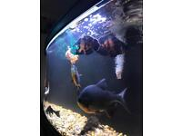 Tropical fish , gourami, pacu, plec