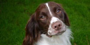 looking for a springer / cocker / brittany  spaniel