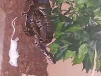 royal python with set up 3years old