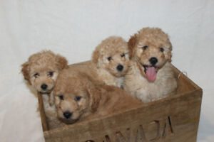 TAKING RESERVATIONS Beautiful F1B Miniature Tiny Goldendoodles