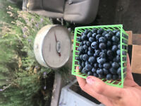 ORGANIC BLUEBERRIES!! U-PICK 1.50$ / pound