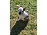 British bulldog puppy kc registered