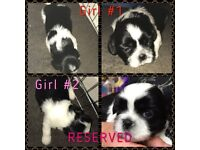 Beautiful shih tzu girl puppy