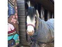 14.2 thick cob mare