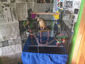 Cinnamon and Green Cheek Conure with cage, toys and 5ft play gym