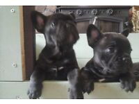 french bulldog puppies ready to leave stunning litter