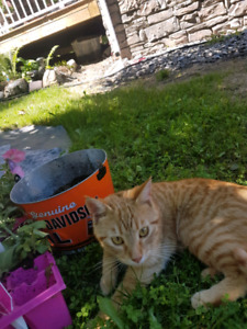 Free young  Orange male cat to right home