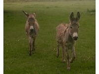 2 x Small Grey 9 Month Old Colt Donkey Foals
