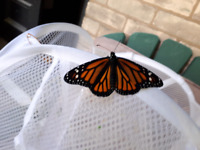 Release your own Monarch Butterfly!