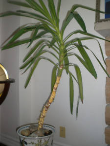 House Plant - almost 4' palm