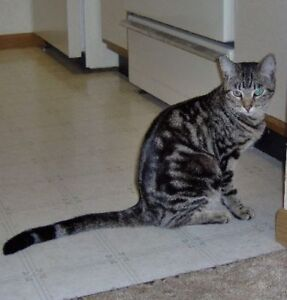 GORGEOUS half bengal cat-URGENT