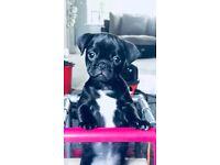 female 10 week old Pug Puppy