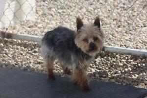 ADORABLE YORKIE BOY UP FOR ADOPTION