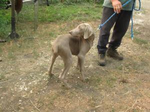 CKC Weimaraner pups.....1 pup now available!!