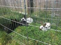 Old English rabbits babies for sale