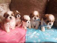 pedigree shih tzu puppies 💜