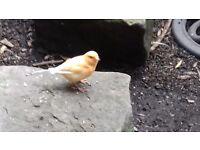 2 orange canaries 1male 1 female...1 female fife.
