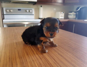 Yorkshire Terriers à vendre / for sale  SPCA #0726