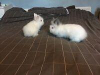 Two female white head lion rabbits