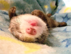 Looking to adopt a ferret!