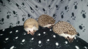 Three male baby HEDGEHOGS for sale!!!!