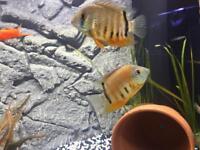 Pair of green severums for aquarium