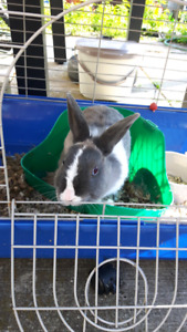 free dwarf rabbit with cage