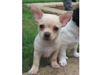 Chihuahua x Jack Russell puppy for sale
