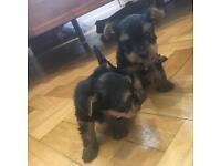 Miniature Yorkie pups