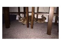 Two velveteen lop rabbits